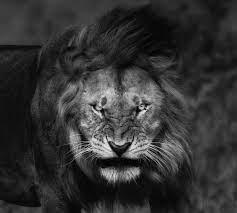 New Wallpaper Hd Lion