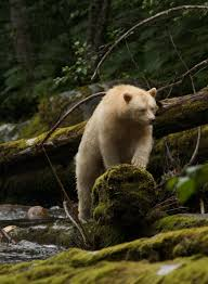 blog travels gannon and wyatt travels gannon and wyatt a rare spirit bear sighting on gribbell island b c