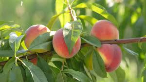 Fruit Growers Try Tricking Mother Nature To Prevent Crop Damage Fruit Trees In Michigan