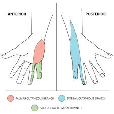 ulnar nerve sensory