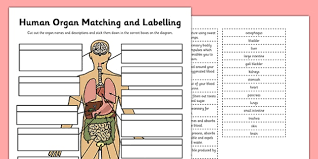 Organs In The Human Body Human Organ Matching And Labelling Activity Human Organ