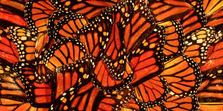 Image result for monarch butterfly