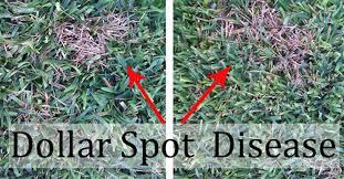 Dollar Spot Disease Forms Straw Colored Dead Spots In St