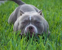 American Pitbull Terrier Feeding Chart What Is The Best Food To Add Muscle To My Pit Bull Or