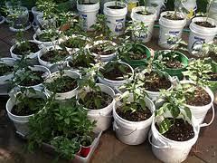 bucket gardening. SIP Buckets » A First Time Gardener Makes Some Smart Moves Bucket Gardening N