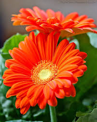 Small Picture Best 25 Gerbera daisies ideas on Pinterest Gerbera Pink