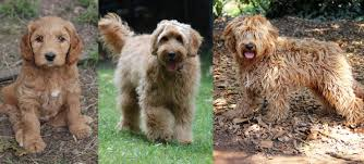 Labradoodle Color Chart Coat On The Right Labradoodles Colour Gold Doodle