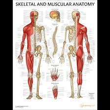 Laminated Anatomical Charts Skeletal And Muscular Anatomy Chart Poster Laminated