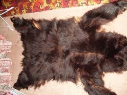 black bear skin rug wall hanging