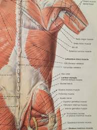 Building big traps is a necessity for a symmetrically sculpted upper torso, and most guys usually give these muscles attention at the end of their shoulder workout. The Lats Teres Major Tami Apland
