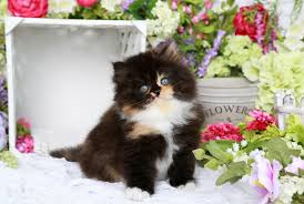 calico kittens for sale. Beautiful Sale Calico Kitten With Kittens For Sale
