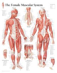 Womens Anatomy Chart The Female Muscular System