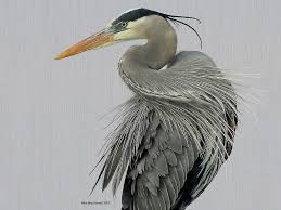 blue heron drawing google search