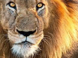 """Résultat de recherche d'images pour """"cats lions"""""""