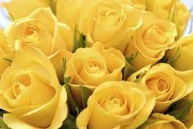 Beautiful Yellow Rose Flowers Wallpaper ...