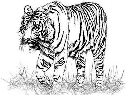Small Picture A Realistic Drawing of Bengal Tiger Coloring Page A Realistic