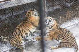 tiger farms stoke chinese demand for tiger wine and rugs putting wild cats in peril