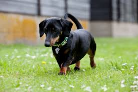 How Much Does A Mini Dachshund Puppy Eat Puppies Cute