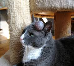 Image result for cats wound