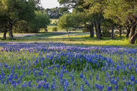 Image result for bluebonnet pictures in texas