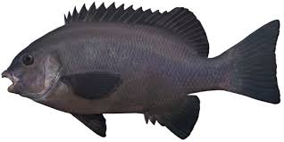 Image result for images of blackfish
