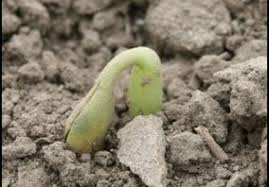 A Visual Guide To Soybean Growth Stages Integrated Pest