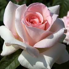 Learn How To Plant And Care For Your English RosesFragrant Rose Plants