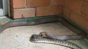 Resultado de imagem para rolo de cobra