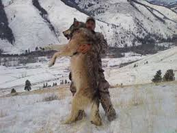 fact the heaviest wolves can approach 200lbs