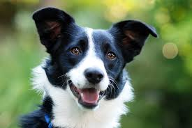 border collie ears the complete guide