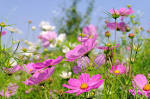 Images & Illustrations of cosmea