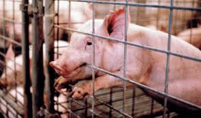 environment ethics the factory farm animal blawg pigletbitingcagelg