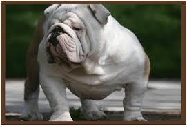 english bulldog breeder