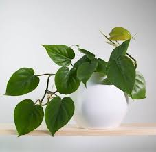 it needs a moderate amount of light and prefers the soil to dry out between watering spells also read easiest indoor plants