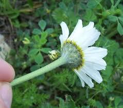 Anacyclus tomentosus (All.) DC. * - Flora Mediterranea - Funghi in ...
