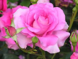pink rose flower images