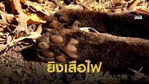 จับพรานป่ายิงเสือไฟแม่ลูกอ่อน สัตว์ป่าคุ้มครองในเขตภาชี