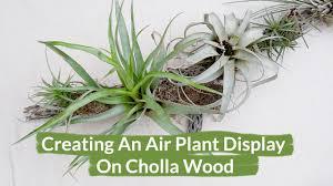 Air Plant Display Creating An Air Plant Display On Cholla Wood Youtube