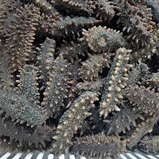 Japanese sea cucumber (apostichopus ...