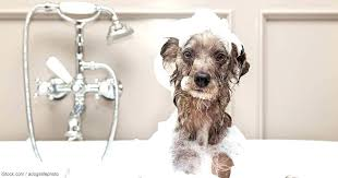 dog bath hose attachment dog in bathtub dog bath hose attachment as seen on dog bath dog bath hose attachment