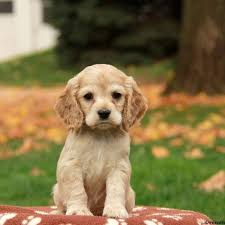 er spaniel puppies for