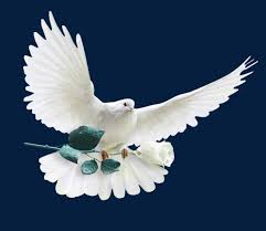 white dove of peace peace dove olive branch white free png image
