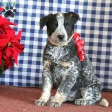 blue heeler puppies for greenfield puppies