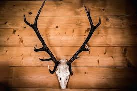 full size of royalty free photo white deer skull with black antler wall decor faux outstanding