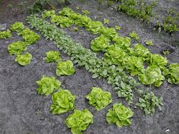 10 fast growing spring vegetables you