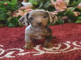best 25 dachshund puppies for ideas on daschund