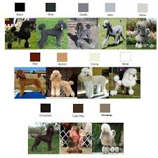 Poodle Color Chart Related Keywords Suggestions Poodle