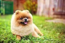 Pomeranian Puppy Feeding Chart 15 Best Dog Foods For Pomeranians Our 2019 In Depth Feeding
