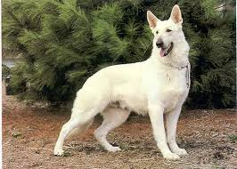 white german shepherd husky mix puppy. Fine Husky German Shepherd Puppies Puppy Pup Police Dog Picture Husky Mix Animal Pets  Wallpaper Inside White German Shepherd Husky Mix Puppy