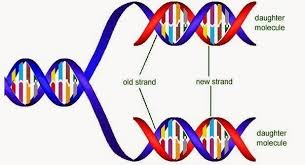 Dna Replication Definition Its Been Said That Dna Sequencing Is Semi Quantitative What Does